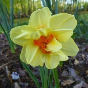 Daffodils Double - Double Fashion