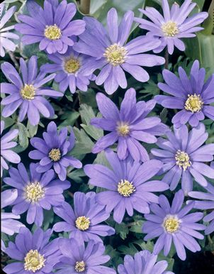 Anemone Blanda - Blue Meadow