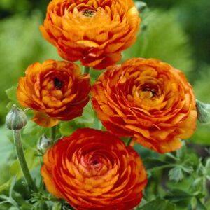 Ranunculus asiaticus Orange