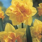 Daffodils Double – Apotheose