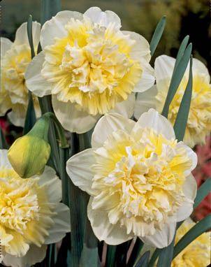 Daffodils Double – Ice King