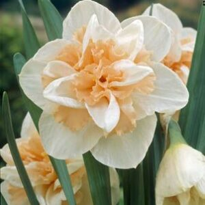 Daffodils Double - Delnashaugh