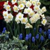 Daffodils Polyanthus Bunch Flowered - Cheerfulness