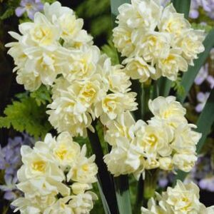 Daffodils Polyanthus Bunch Flowered - Earlycheer