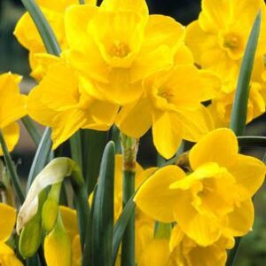Daffodils Polyanthus Bunch Flowered - Quail