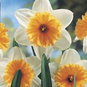 Daffodils Super - Orange Ice Follies