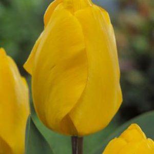 Tulip Darwin Hybrid - Golden Apeldoorn