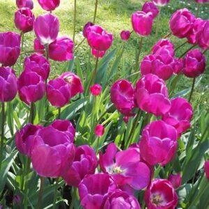 Tulip - Attila