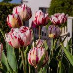 Tulip Carnival De Nice 500