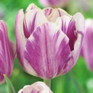 Tulip - Feather Flag