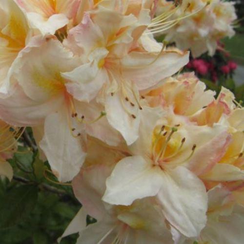 Azalea Cream Buns (dec.) - 4.7ltr
