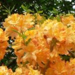 Azalea Golden Lights 500
