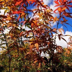 Acer Scopendrifolium purpurea