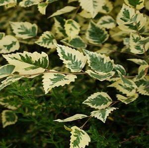 Betula nigra 'Shiloh Splash' - PB40 (180/200)