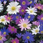 Anemone Blanda – Mixed