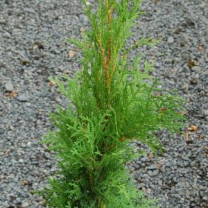 Thuja occidentalis Pyramidalis - PB18 (140/150)