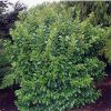 Griselinia littoralis 'Broadway Mint' Large Grade - 45 ltr140/160)