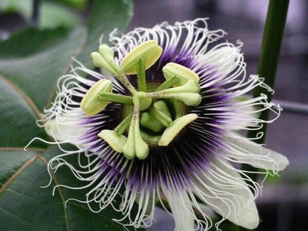 Passionfruit -Black (Passiflora Edulis) – 10cm (40/50)