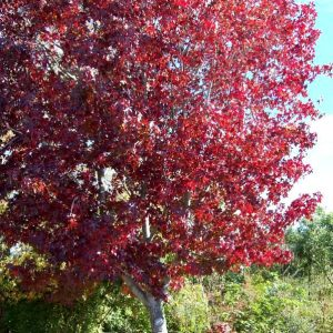 Liquidambar s. 'Richared' - PB95 (220/250)