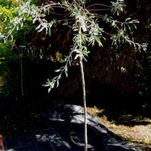 Pyrus salicifolia pendula - PB40 (1.8STD)