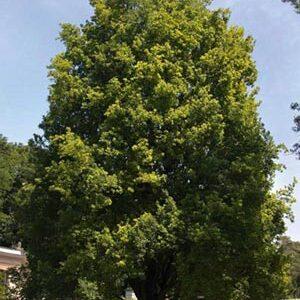 Quercus cerris - PB28 (220/240)