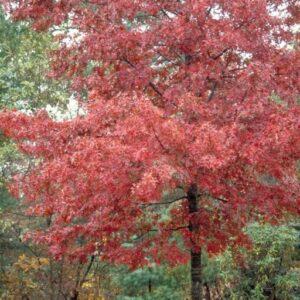 Quercus rubra  - PB12 (140/160)