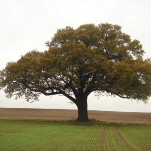 Quercus robur - PB40 (220/240)