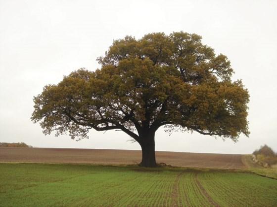 Quercus robur  – PB40 (220/240)