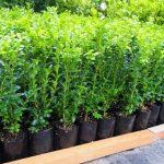 Buxus sempervirens  PB3/4  (25/35)