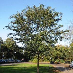Ulmus parvifolia  - PB40 (220/250)