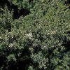 Kunzea ericoides - PB3 (60/70)