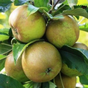 Apple Egremont Russet - pb12