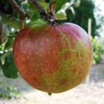 Apple Scarlet Nonpareil - pb12 (160/180)