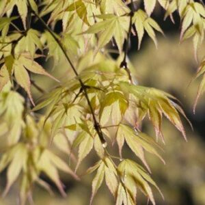 Acer Palmatum Green Katsura - PB28