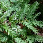 Sequoia sempervirens – PB5 (100/120)