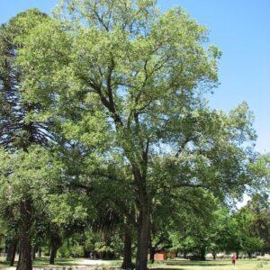 Ulmus carpinifolia 'Variegata' - PB95 (350/450)