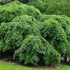 Ulmus glabra 'Camperdowni' (pendula)  - PB40 (1.8m S)