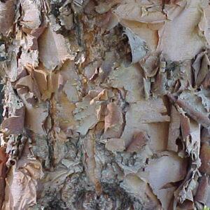 Betula nigra - PB12/18 (180/220)