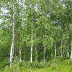 Betula pendula 'Alba' – PB6.5/12 (160/180)