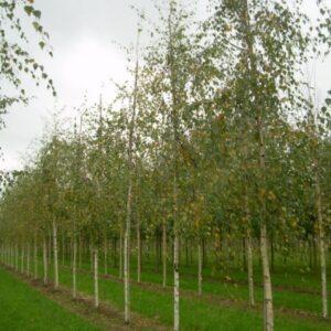 Betula pendula 'Lacciniata' - PB18 (180/220)