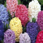 Hyacinth - Mixed