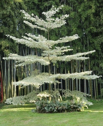 wedding cake tree nz cornus controversa variegata greenleaf nurseries 26706