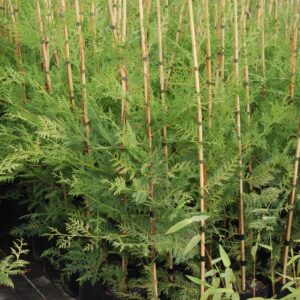 Cupressocyparis ovensii - PB6.5 (80/100)