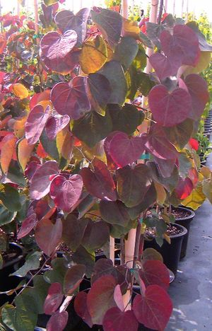 Cercis canadensis 'Forest Pansy' – PB28 (180/220)