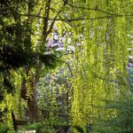 Cercidiphyllum japonicum 'Pendula' - PB95 (1.5STD)