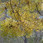 Fraxinus excelsior 'Aurea Pendula'  – PB28 (180/220)