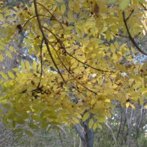 Fraxinus excelsior 'Aurea Pendula'  - PB28 (180/220)