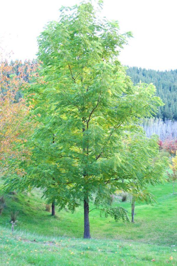 Juglans nigra  – PB95 (280/300)