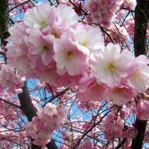 Prunus 'Accolade' - PB28 (1.7m S)