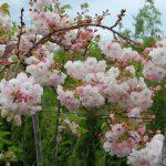 Prunus 'Shimidsu Sakura'  – PB40 (200/240)